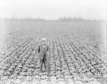 C. H. Frye on his lettuce farm, Monroe, ca. 1931