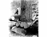 Foundation of a 150 foot raised spar tree at the Woods Logging Company, Miller River, ca. 1931