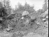 Clearing road, Snohomish County, July 8, 1911