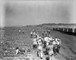 Workers returning from lunch, C. H. Frye lettuce farm, Monroe, ca. 1931