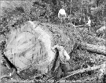 Loggers with felled timber, Snohomish County, ca. 1926
