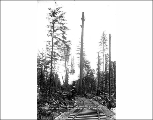 Index Galena Co. logging operation showing spar tree, n.d.