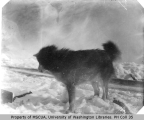 Dog named Jacko in snow, March 5, 1901
