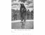 Bear on display at the Zoological Gardens in Woodland Park, 1906