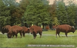 Buffalo herd at Woodland Park, n.d.
