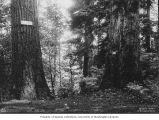 Fir trees in Ravenna Park, ca. 1898