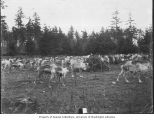 Herd of reindeer grazing in Woodland Park before being shipped to Alaska, 1898