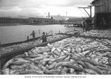 Fishermen with salmon catch at dock, Seattle, Washington, ca. 1901