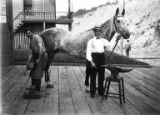 Seattle Fire Department Firehouse No. 20 crew shoeing horse in driveway of station house, circa...