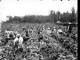 Berry pickers, Kent, 1910