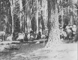 Mazama Club members in the forest with pack horses on an outing to Mount Rainier, 1902