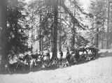 Group of women and men with alpenstocks and pack horses on an outing to Mount Rainier, 1902
