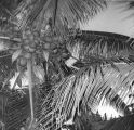 Samoan coconut tree, Punaluu, September 1961