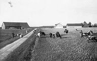 Farmland with cows in Jaunauce, Latvia, 1938
