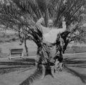 Horace Chase standing in front of palm tree outside at Stags Leap, Napa, California, n.d.