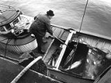 Arnet Danielsen gaffing a fish in the hold of boat, Columbia River, 1979-1980