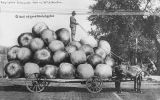 Horse-drawn cart with driver standing pulling large pile of giant apples, ca. 1909