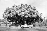 Tree with Pickup Truck (1979)