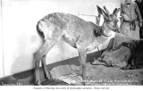 Wild deer pulled from Alaskan waters by a passing ship, ca. 1912