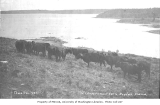 United States Government cattle grazing in Kodiak, ca. 1912