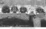 Puppies in a row on a wooden bench, ca. 1912