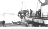Unloading horses using pulley system from the steamer DORA, ca. 1912