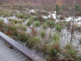 Vegetation along wetland boardwalk following heavy autumn rains