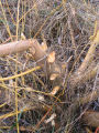 Beaver herbivory on Pacific willow at end of boardwalk
