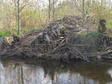 Beavers' stockpile of building materials