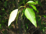 Black cottonwood leaves