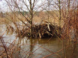 Beaver lodge surrounded by floodwaters