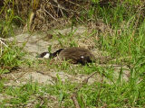 Canada goose on the ground