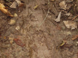 Beaver footprints in mud outside lodge