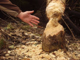 Base of tree felled by beavers