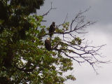 Adult and immature bald eagles in tree