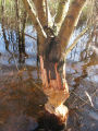 Beaver chewing marks on felled tree
