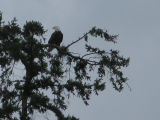 Adult bald eagle in tree