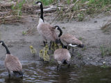 Adults and young Canada geese