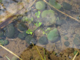 Balls of colonial cyanobacteria
