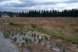 Wetlands during restoration, floodplain planting
