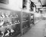 Administration Building (now Denny Hall) interior showing natural history exhibit, University of...