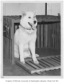 Psyche, mother of Husky mascot, University of Washington, June 27, 1946
