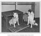 Psyche and Ricky, parents of Husky mascot, University of Washington, July 10, 1946