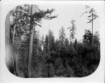 Grove of young conifers on the site of the University of Washington campus, 1894