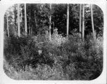 Native shrubs in wooded field on the site of the University of Washington campus, 1894