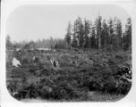 Cleared field with stumps on the site of the University of Washington campus, 1894