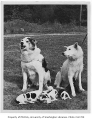 Ricky and Psyche with their puppies, University of Washington, September 26, 1946