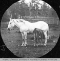 Horse and nursing calf, n.d.
