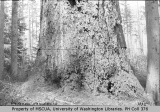 Largest fir tree on Vashon, at Snow-Dumbleton homestead, Glen Acres, 1892