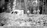 Men with oxen, probably Vashon Island, n.d.